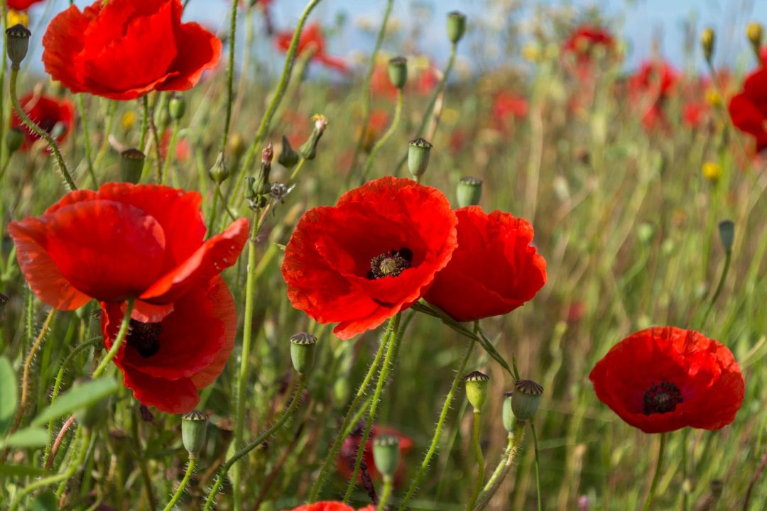 Poppy field image